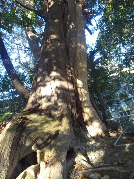 杵宮神社の本殿横にある大きな木