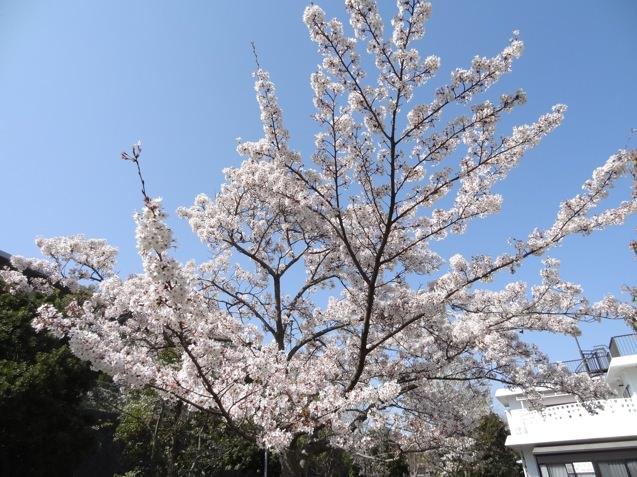 岡場公園の桜